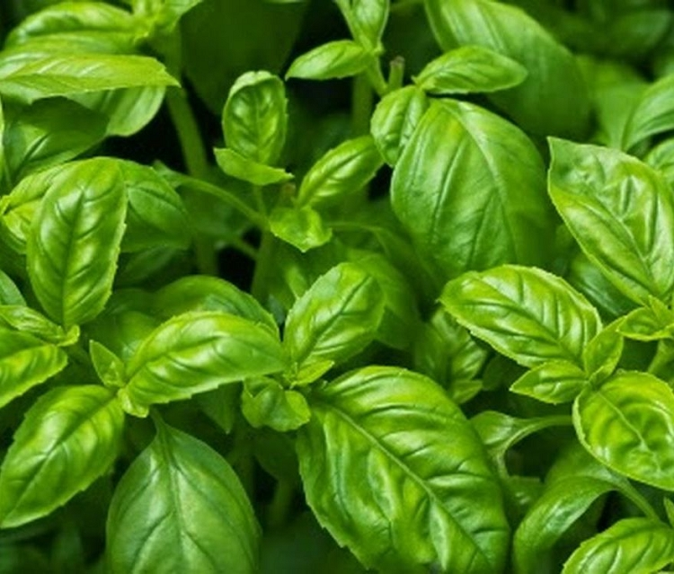 Basil-Genovese Dried Spice Herb