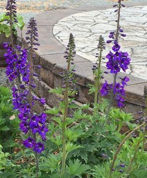 Delphinium Black Knight Seeds