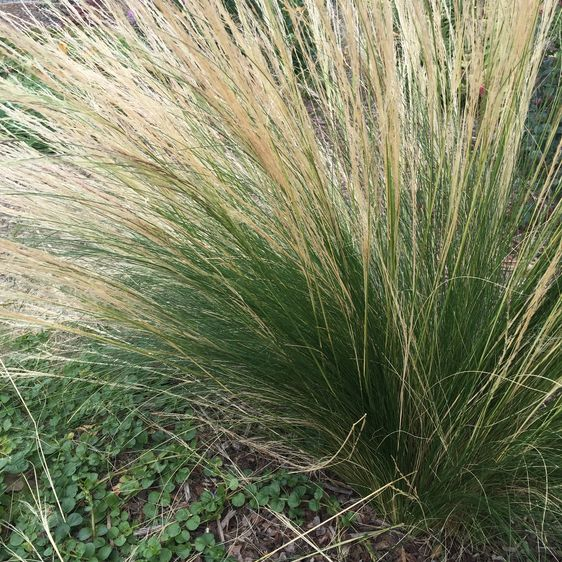 Nassella (formerly Stipa) tenuissima aka Pony Tails, Mexican Feather Grass