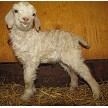 HMR Sebastian baby pic - Registered Pygora Goat Wether at Cats Paw Farm
