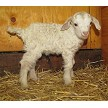 HMR Tempe baby pic - Registered Pygora Goat Doe at Cats Paw Farm