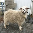 HMR Sebastian in fleece - Registered Pygora Goat Wether at Cats Paw Farm