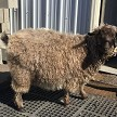 HMR Bobby in fleece - Registered Pygora Goat Wether at Cats Paw Farm