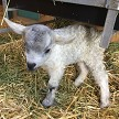 CPF Karev newborn - Registered Pygora Goat Wether at Cats Paw Farm