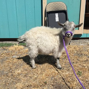CPF Karev in fleece - Registered Pygora Goat Wether at Cats Paw Farm