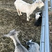 CPF Missandei, CPF Arya, CPF Ivar - Registered Pygora Goat Does & Wether at Cats Paw Farm