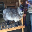 CPF Missandei in fleece - Registered Pygora Goat Doe at Cats Paw Farm