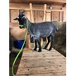 CPF Missandei out of fleece  - Registered Pygora Goat Doe at Cats Paw Farm