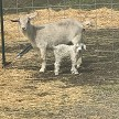 HMR Tempe with newborn kid - Registered Pygora Goat Doe at Cats Paw Farm