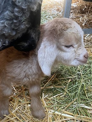 CPF Dixon 6 hours old - Registered Pygora Goat Wether at Cats Paw Farm